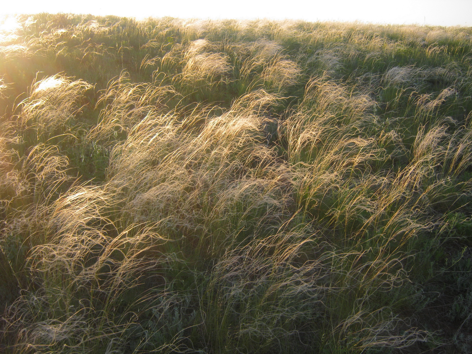 Carpets from a feather grass in the steppe. Oksana Burkovskaya